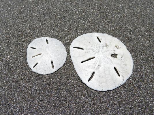 Sanddollar - Seeigelknochen