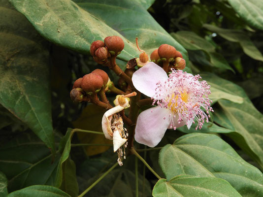 Blüte der Achote