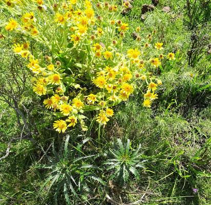 Dominante Pflanze auf Uruguays Weiden