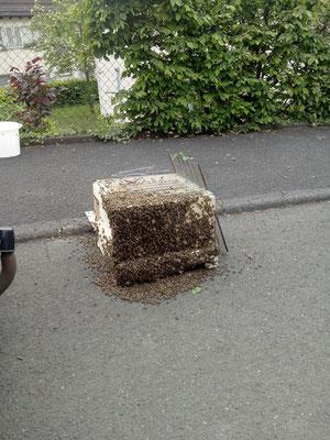 Bienenschwarm zieht ein