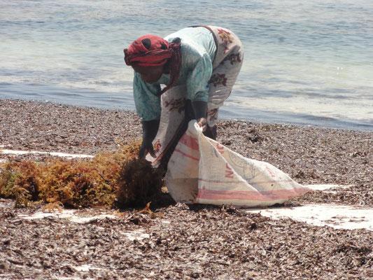 recherche d'algues pour la cosmétique