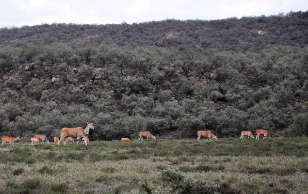 Elands cu cap, c'est la plus grande antilope au Kenya