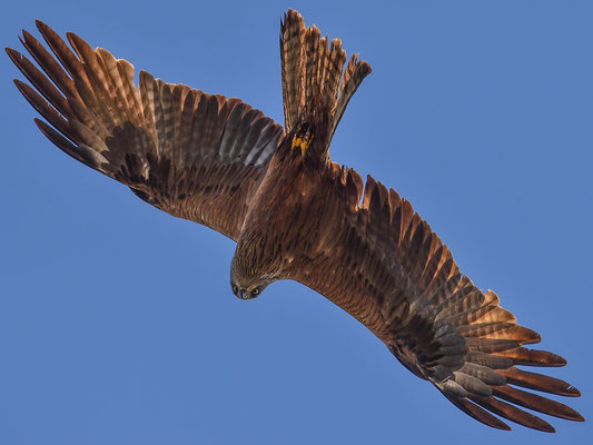 Schwarzmilan ( Milvus migrans ) - Black Kite