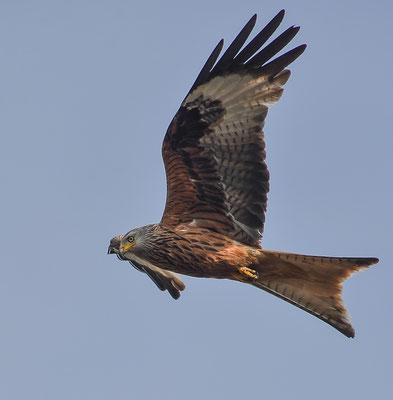 Rotmilan ( Milvus milvus ) - Red Kite