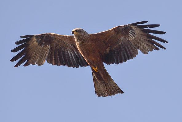 Schwarzmilan ( Milvus migrans )- Black Kite