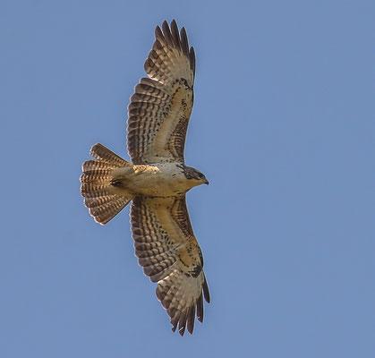 Mäusebussard ( Buteo buteo ) - Common Buzzard