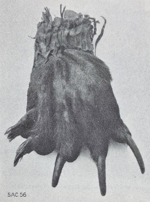 Bärentatze des letzten auf Zenegger Boden erlegten Bären (ca. 1820), heute im Burgerhaus Zeneggen (Quelle: Stebler)