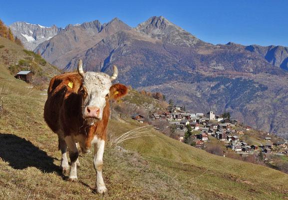 Simmentaler Kuh (Fleckvieh)