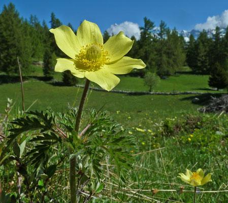 Schwefelanemone / Pulsatilla alpina apiifolia (Diebje, Zeneggen)