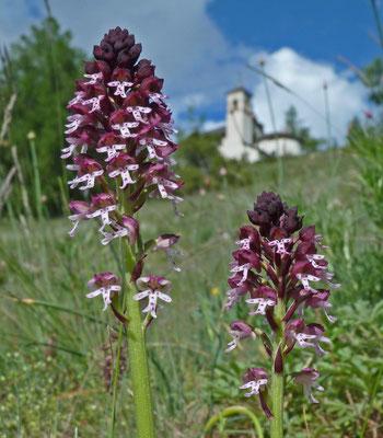Schwärzliches Knabenkraut / Orchis ustulata (Biel, Zeneggen)