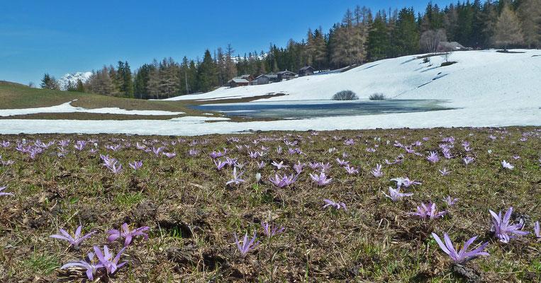 Frühlingslichtblume / Colchicum bulbocodium (Obere Hellela, Zeneggen)