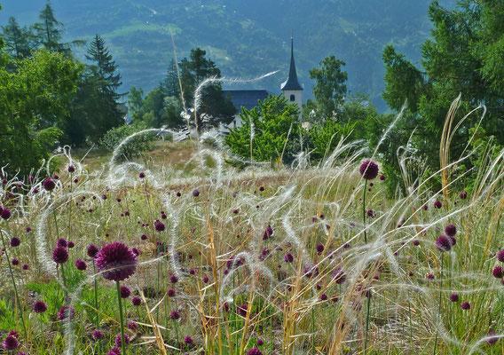 Federgras / Stipa pennata? und Kugelköpfige Lauch / Allium sphaerocephalon (Biel, Zeneggen)