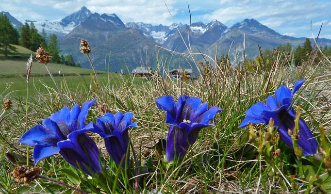 Alpen-Enzian / Gentiana alpina (Obere Hellela, Zeneggen)