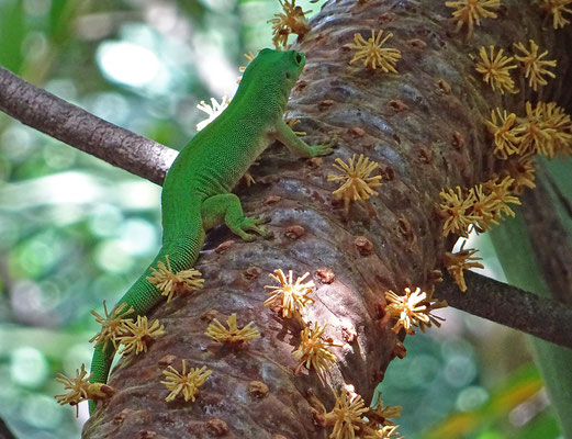 Green Gecko auf männlicher Blüte der Coco de Mer (Praslin / Seychellen)