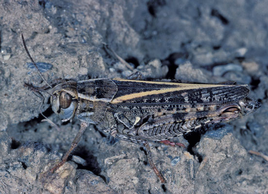 Schönschrecke (Calliptamus italicus)