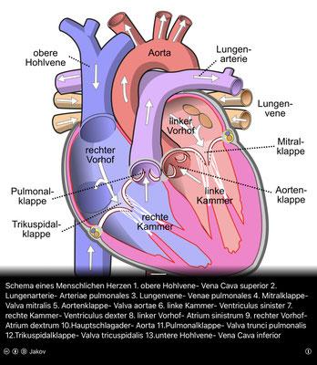 """Schema des menschlichen Herzens (Quelle: WIKIPEDIA """"Herz"""")"""