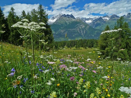 Magerwiese zwischen Oberer und Mittlere Hellela in artenreicher Blütenpracht (Zeneggen)
