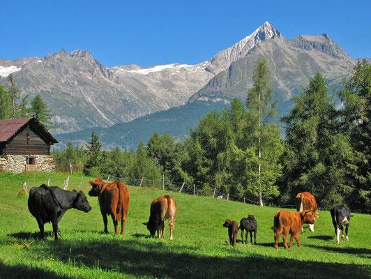 Rinderherde  (Obersal, Zeneggen)
