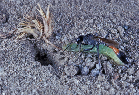 Sandwespe (Ammophila sp.) schleppt Schmetterlingsraupe