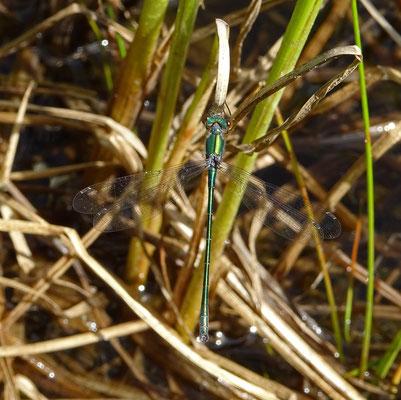 "Libelle ""Weidenjungfer"" (Chalcolestes viridis) im Boniger See / Moosalp"