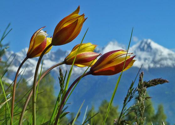 Südliche Tulpe / Tulipa sylvestris australis (Hostettu)