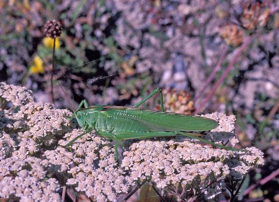 Grünes Heupferd (Tettigonia viridissima), Weibchen auf Schafgarbe