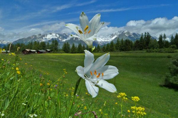 Paradieslilie bzw. Weisse Trichterlilie / Paradisia liliastrum (Mittlere Hellela, Zeneggen)