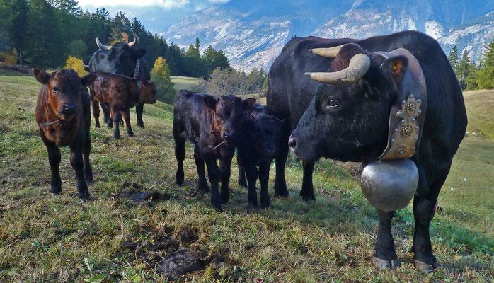 Eringer Kühe (mittlere Hellela, Zeneggen)