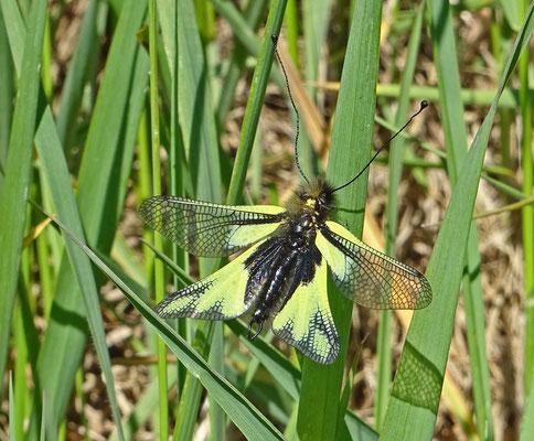 Libellen-Schmetterlingshaft (Libelloides coccajus), Foto: Detlef Gerritzen