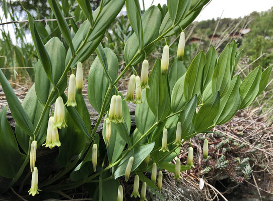 Salomonssiegel, (?)vielblütiges / Polygonatum multiflorum (Milibiel, Zeneggen)