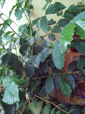 У нас растет кофейное дерево