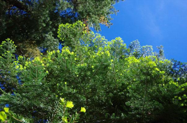 末端が蛍光色のように見える葉