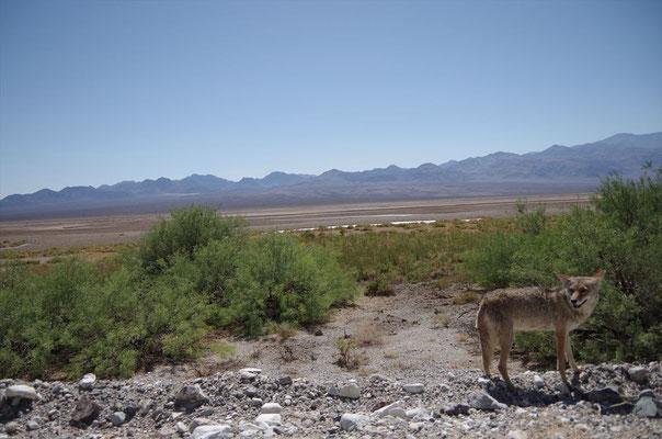 デスバレー国立公園のコヨーテ