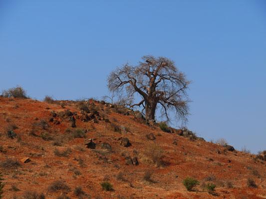 Baobab in Zentraltansania