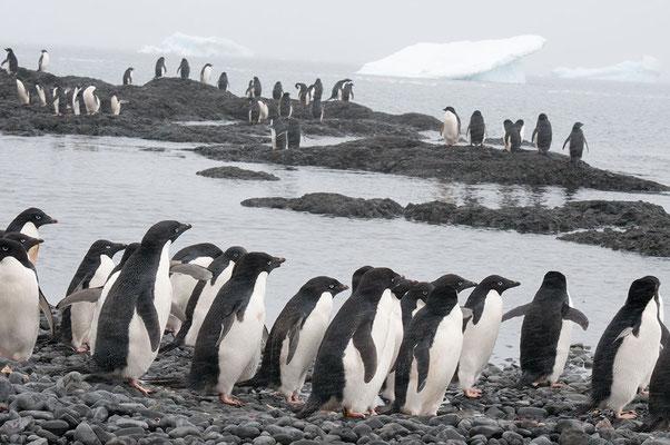 Adelie Pinguine