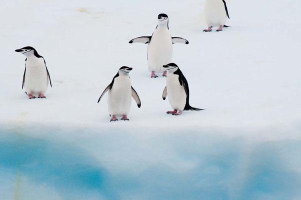 Zügelpinguine auf Eisberg