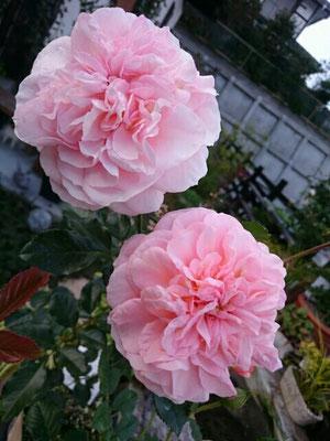 四季咲き薔薇「杏奈」
