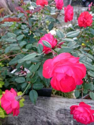 四季咲き薔薇「チェリーボニカ」