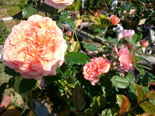 四季咲き薔薇「ザンガーハウザーユビレウムスローゼ」