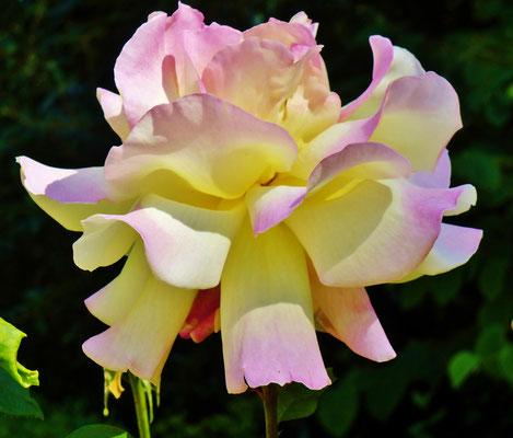 Schöne Rosenbeete im Riedergarten Rosenheim