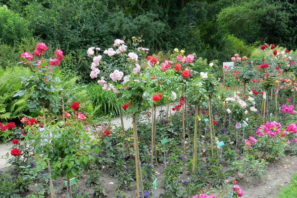 Hochstämmchen im Rosengarten: In Forst kann man bei der Geburt seines Kindes eine Rose pflanzen - Schöne Tradition!