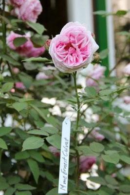 Rose Mme. Ernest Calvat