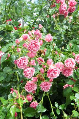 Strauchrose New Look  - ADR Rose von Noack
