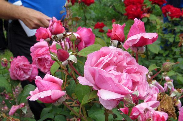 Edelrose Elbflorenz  - ADR Rose von Meilland