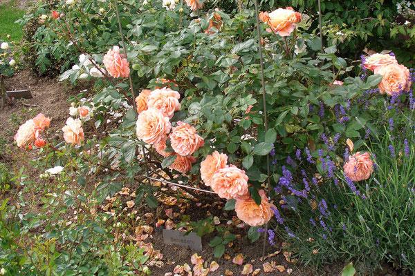 "Rose ""Belvedere"""