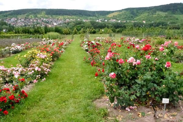 Im Sichtungsgarten waren die Rosen nur numieriert