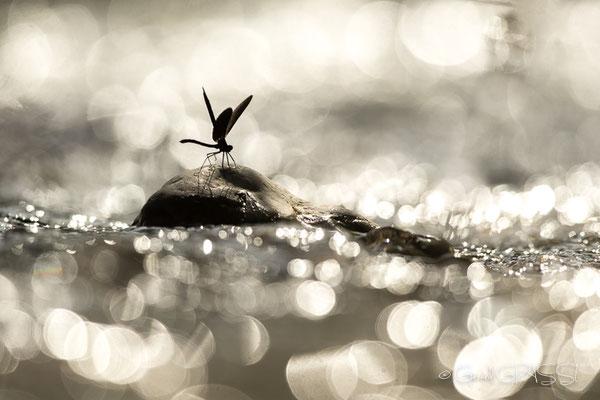 Calopteryx virgo ©GG