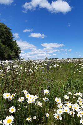 Blühwiesen gefördert durch das Land Mecklenburg-Vorpommern.