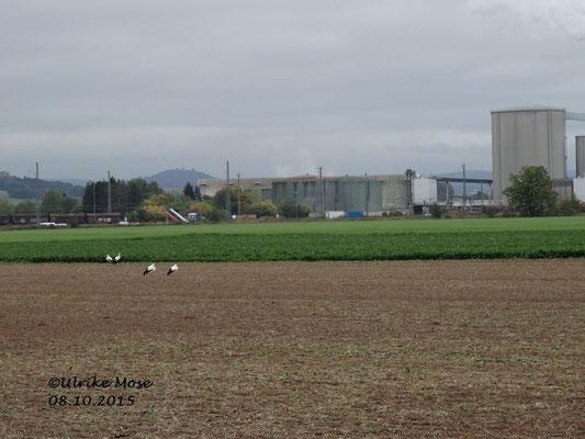 Zwei Storchenpaare auf einem Acker . Im Hintergrund die Bahn und die Zuckerfabrik Wabern.
