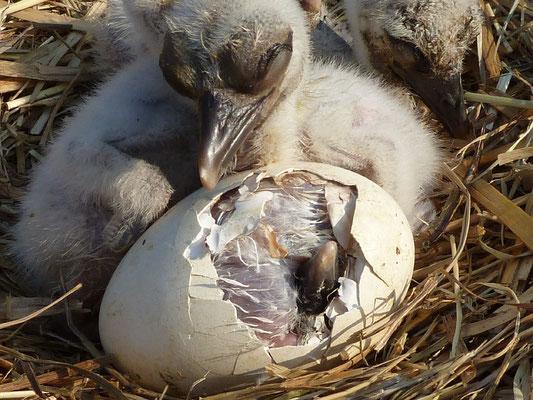 So ähnlich sieht es auch im Nest auf dem Spänebunker aus. Foto: Aktion PfalzStorch